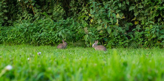 Pair of two baby rabbits eating grass Stock Image