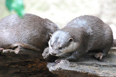 Pair of Two River Otters Sitting on Fallen Wood Stock Images