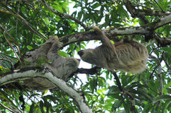 Pair of two toe sloths in tree, costa rica. Male and female adult two toe sloths in tree, cahuita, costa rica, central america Royalty Free Stock Photo