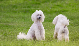 Pair  of two white poodle dogs on green grass  field. In springtime Royalty Free Stock Photos