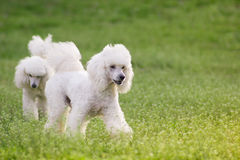 Pair  of two white poodle dogs on green grass  field. In springtime Royalty Free Stock Photography