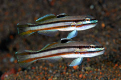 Pair of Twostripe gobies Stock Images