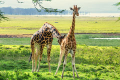 Pair of Ugandan giraffes browses in savannah royalty free stock images