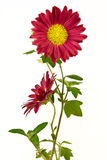 Pair of uncultivated chrysanthemum. Isolated on the white Royalty Free Stock Photos