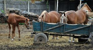 Horses near the cart. A pair of unfinished horses and a young horse near a wooden cart Royalty Free Stock Image