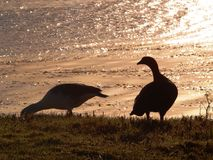Pair of Upland Geese Chloephaga picta. Feeding at Port Stanley, Falkland Islands Royalty Free Stock Photography