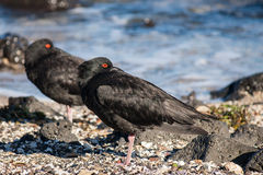 Pair of variable oystercatchers. Resting on beach royalty free stock photography