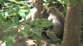 Pair of Vervet Monkeys groom each other in a tree stock video footage