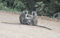 Pair of vervet monkeys, Queen Elizabeth National Park, Uganda Royalty Free Stock Photo