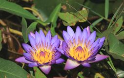 Pair of Vibrant Purple Lotus Flowers Blooming in the Sunlight with Blurred Green Leaves in Background. Tropical Garden stock photography
