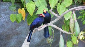 A pair of violet turaco bird perched in a tree, also known as the violaceous plantain eater Musophaga violacea show its b. A pair of violet turaco birds  in a stock video footage