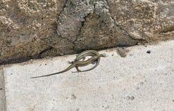 Pair of viviparous lizards Royalty Free Stock Photos