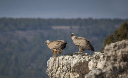 Pair of vultures Stock Photography