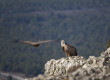 Pair of vultures Royalty Free Stock Photography