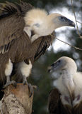 Pair of vultures Stock Photos