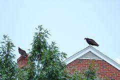 Vultures on Roof top. A pair of Vultures perch on the roof top of a building Stock Photography