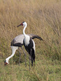 A pair of Waddled Cranes in Botswana Africa. Stock Image