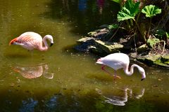 A pair of wading flamingos. stock images