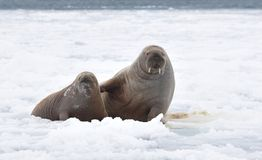 A pair of walruses Stock Photography