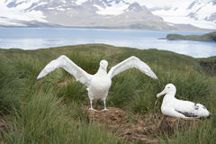 Pair of Wandering Albatrosses. Wandering Albatrosses on the nest South Georgia Island, Antarctica Stock Images