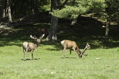 A pair of wapiti grazing on grass Royalty Free Stock Images