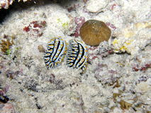 Pair of Wart Slugs Seychelles Stock Photos