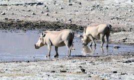A Pair of Warthogs Drinking Tom Wurl.jpg Stock Image