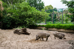 A pair of warthogs eating in their yard at zoo Stock Image
