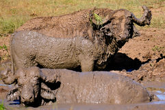 A Pair of Water Buffalo in the Mud Royalty Free Stock Photography