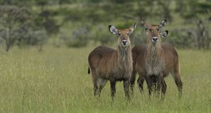 Pair of waterbuck Kobus ellipsiprymnus. Standing side by side in green lush grass, Masai Mara, Kenya, Africa royalty free stock images