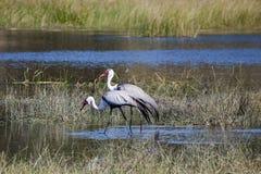 Pair of Wattled Cranes Walking in River Stock Image