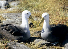 Pair of Waved Albatross, Galapagos Islands royalty free stock images