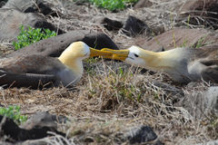 Pair of waved albatross (Phoebastria irrorata) Stock Photography
