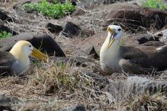 Pair of waved albatross (Phoebastria irrorata) Royalty Free Stock Photos
