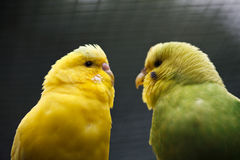 A pair of wavy parrots. royalty free stock images