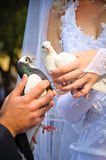 Pair of wedding pigeons in hands royalty free stock images