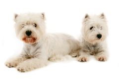 Pair of West Terrier Royalty Free Stock Photography