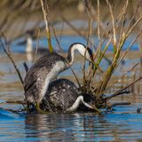 Western Grebes Stock Images