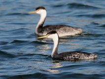 Pair of Western Grebes Royalty Free Stock Photo