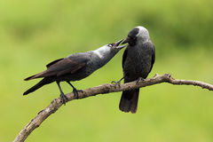 Pair of western jackdaw. Western jackdaw Corvus monedula, also known as the Eurasian jackdaw, pair sitting on the branch with green background royalty free stock photography