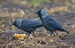 Male and female western jackdaws feeds together on a soil ground stock photos