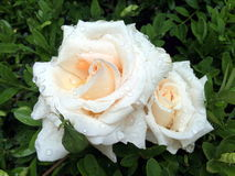Pair of wet rainy roses on leaves of boxwood. In the garden Stock Photos