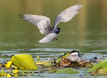 A pair of whiskered tern on the nest. Male is in flight Royalty Free Stock Photography