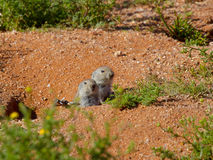A pair of whistling rats peer out of their burrow in the Goegap Nature Reserve near Springbok. Stock Images