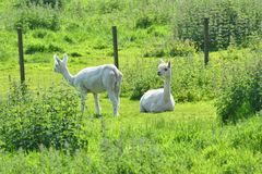 Alpaca idyll, pair of white alpacas, newly shorn. Pair of white alpacas, newly shorn showing shaved stripes, In a field in UK Stock Photography
