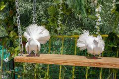 A pair of white beautiful pigeons sitting on a hanging bench against the green background.