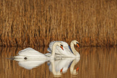Pair of white birds floating on the lake Royalty Free Stock Photos