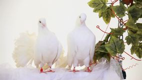 Pair Of White Birds. Two white doves sitting on a swing stock video footage