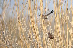 White-browed Bush Dweller. A pair of White-browed Bush Dweller in winter reeds. Scientific name: Rhopophilus pekinensis Stock Photos