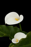 A Pair of isolated white calla lilies with copyspace Stock Photo